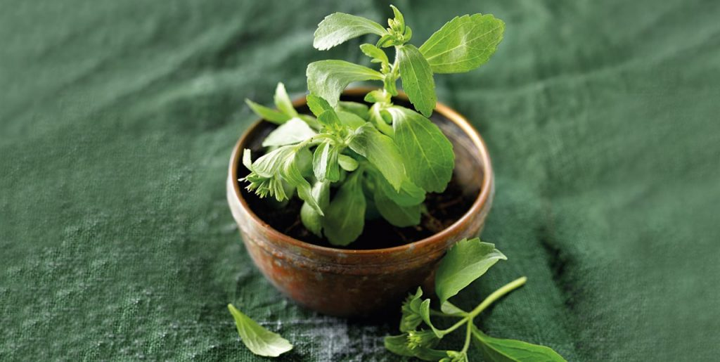 infusiones stevia