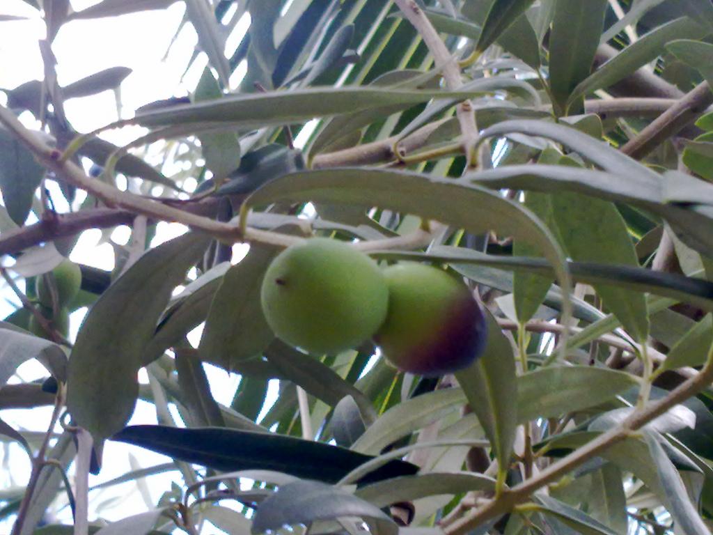 infusión de hojas de olivo para la tensión